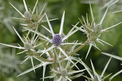 Moroccan Sea Holly Stock Images