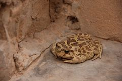 Moroccan Spade foot Toad. A Moroccan Spade foot Toad (Pelobates veraldii) sitting in a corner in a garden at Gorge du Dades, Morocco royalty free stock image