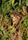 Moroccan Spadefoot Toad (Pelobates varaldii) Royalty Free Stock Photos