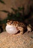 Moroccan Spadefoot Toad (Pelobates varaldii) Royalty Free Stock Photography
