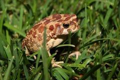 Moroccan Spadefoot Toad (Pelobates varaldii) Stock Images