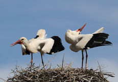 Moroccan Storks Stock Photos