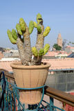 Morocco cactus Royalty Free Stock Photo