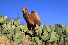 Morocco Camel in catus field Royalty Free Stock Photos