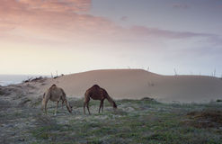 Morocco - Camels on Sand Dunes Sunset Royalty Free Stock Photography