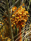 Morocco dates on the palm tree Stock Image