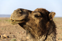 Morocco Dromedary head Royalty Free Stock Photo