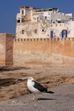 Morocco Essaouira Seagull Royalty Free Stock Images