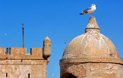 Morocco, Essaouira: seagull on the fortress. Morocco, Essaouira: seagull on the top of a fortress royalty free stock images