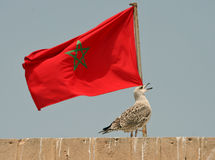 Morocco flag. Seagull and Moroccan flag at the background Stock Image