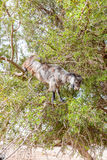 The Morocco Goat feeding in a tree Stock Images