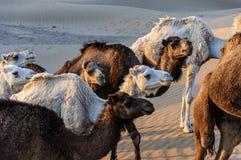 Morocco (Hamada du Draa) Dromedaries Stock Photography