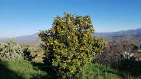 A beautiful, fruitful orange tree royalty free stock photos