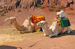 Morocco, Marrakech: Camels. Morocco, Marrakech:red sand and colorful Camels stock photography