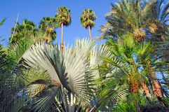 Morocco, Marrakech: palm trees. Morocco, Marrakech: green and silver palm trees royalty free stock photos