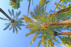 Morocco, Marrakech: palm trees. Morocco, Marrakech: blue sky and palm trees royalty free stock photography