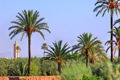 Morocco, Marrakesh: palm trees. Morocco, Marrakesh:blue sky and palm trees royalty free stock photos