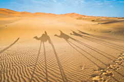 Morocco, Merzouga: shadows of a camel caravan Stock Photos