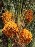 Morocco, organic dates on palm tree royalty free stock photo