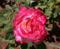Morocco Pink fire rose Royalty Free Stock Photography