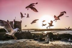 morocco seagulls Royaltyfria Bilder