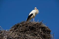 morocco stork Royaltyfria Bilder
