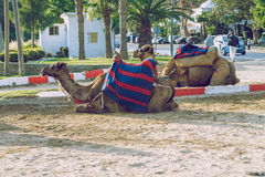 Morocco, Tanger, Camels and street. 2013. Travel photo. Nature and animals Royalty Free Stock Photos