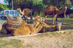 Morocco, Tanger, Camels and street. 2013. Travel photo. Nature and animals Stock Photography