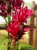 Morog del fiore della cresta di gallo pieno fotografie stock libere da diritti