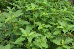 Moroheiya in the field Nalta Jute plant. Nalta Jute plant in full frame Stock Image