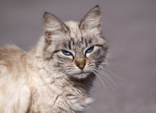Morose tabby cat Royalty Free Stock Photo