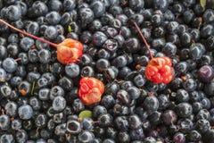Moroshka do Cloudberry Fotos de Stock Royalty Free