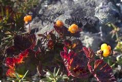 Moroshka do Cloudberry, montanhas, pedra Imagem de Stock Royalty Free