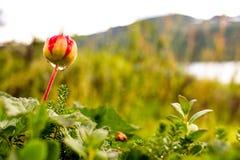 Moroszka w szwedach Lapland Zdjęcie Stock