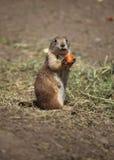 morothund som äter prärien royaltyfri fotografi