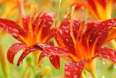Morotsfärgade liljor i regnet Fotografering för Bildbyråer