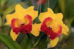 Morotsfärgade orkidéblommor - Cattleya Arkivbilder