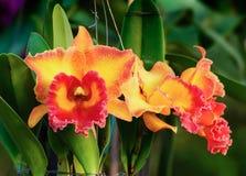 Morotsfärgade orkidéblommor - Cattleya Arkivfoton