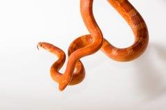 Morph les serpents de maïs images stock
