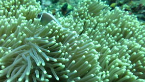 Morph  the  skunk clownfish sheltering in a giant carpet anemone  Bali. stock footage