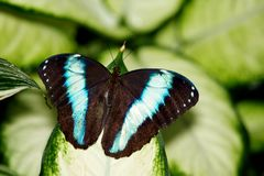 morpho πεταλούδων Αχιλλέα Στοκ εικόνες με δικαίωμα ελεύθερης χρήσης