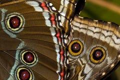 μπλε morpho πεταλούδων Στοκ εικόνα με δικαίωμα ελεύθερης χρήσης