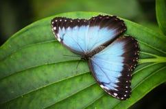 蓝色蝴蝶morpho 库存图片