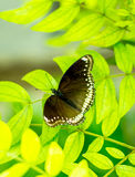 Morpho achilles, butterfly with bokeh blurred. Top view Royalty Free Stock Image