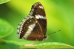 Morpho achilles portrait. With bokeh blurred Royalty Free Stock Images