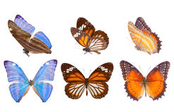 Morpho adonis blue butterfly. Morpho adonis ice blue, black veined tiger and Red Lacewing butterfly isolated on white background Stock Image