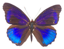 Morpho adonis blue butterfly Stock Images