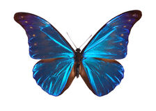 Morpho azul Fotografia de Stock Royalty Free