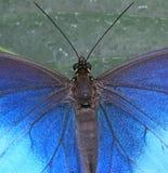 Morpho azul Imagenes de archivo