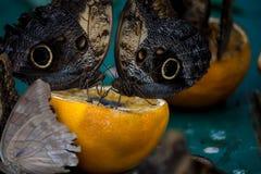Morpho azul gigante que come uma laranja Fotografia de Stock Royalty Free